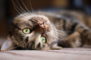Kissa koronavirus