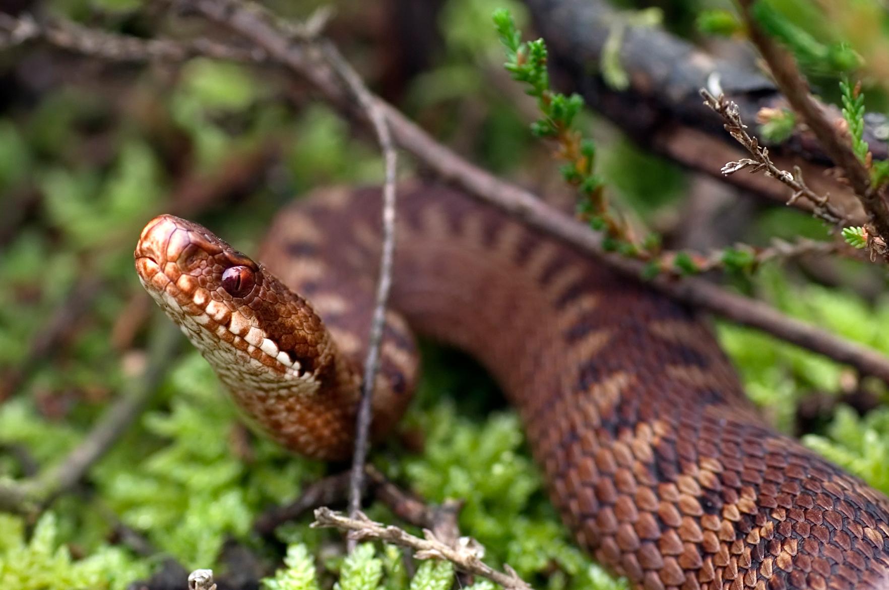 Kyykäärmeen Purema