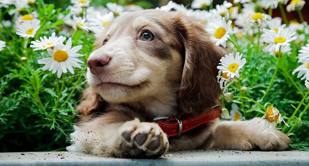 Koiranpentu ja kukkia