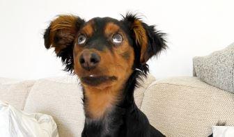 Silmä koira