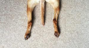 Koiran takajalat