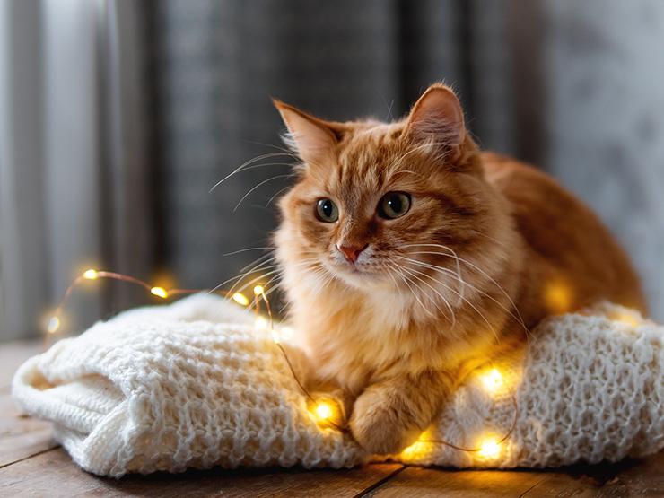 Kissan Ruokahaluttomuus