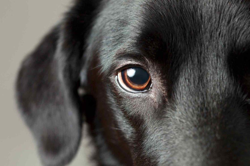 Koiran Vatsakipu Oireet