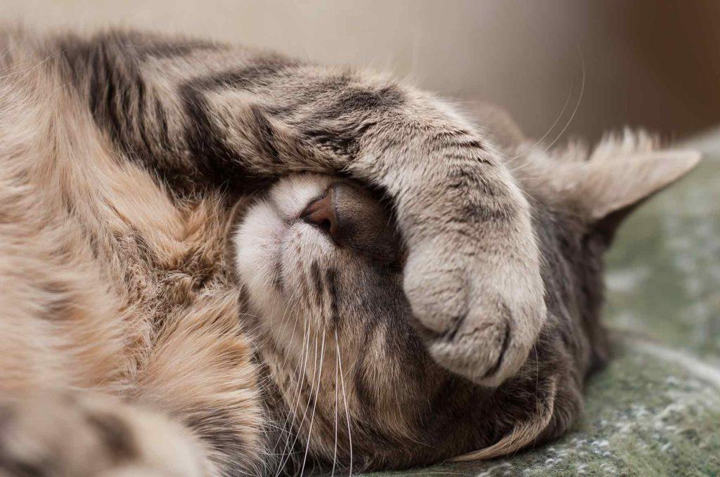 kissa käpälä
