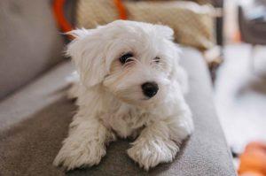 koira sohvalla