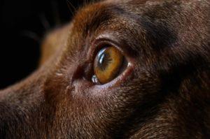 Koiran silmä