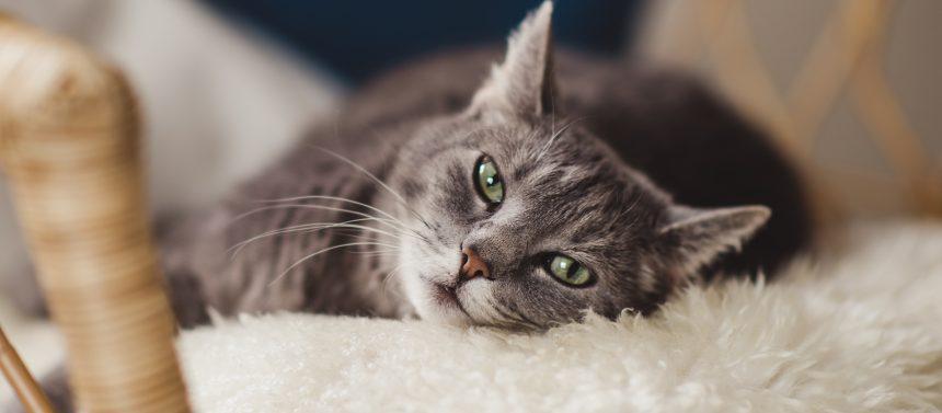 Kissan hammassyöpymä