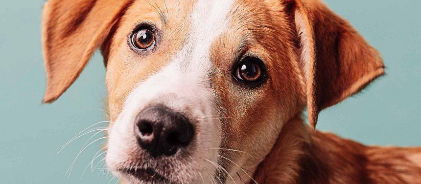 Koira kuivat silmät