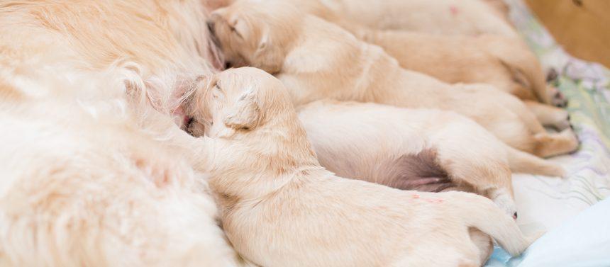 Koiran Pikkupentuaika Vastasyntyneesta Luovutusikaan Omaelainklinikka