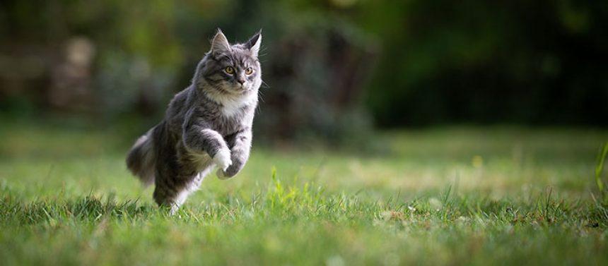 Kissa juoksee nurmikolla