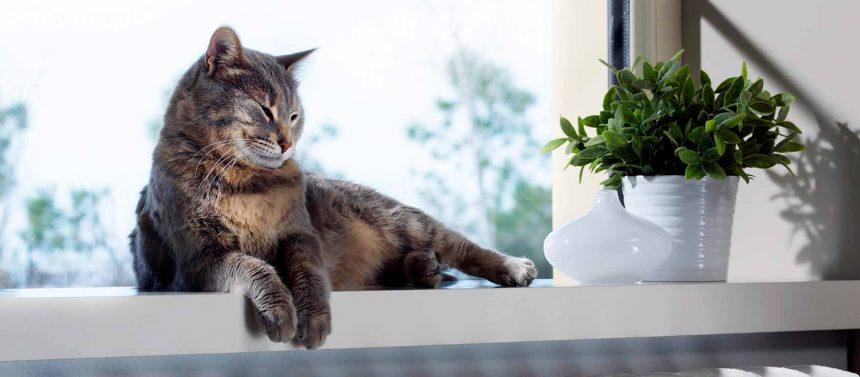 Kissan nivelrikko