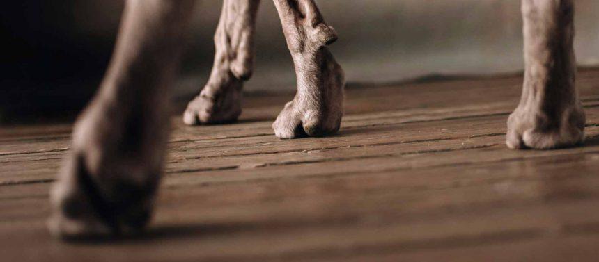 koira ontuu takajalkaa